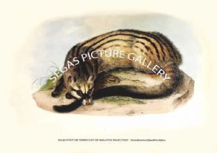 PALM CIVET OR TODDY CAT OR MALAYAN PALM CIVET - Paradoxurus Quadriscriptus